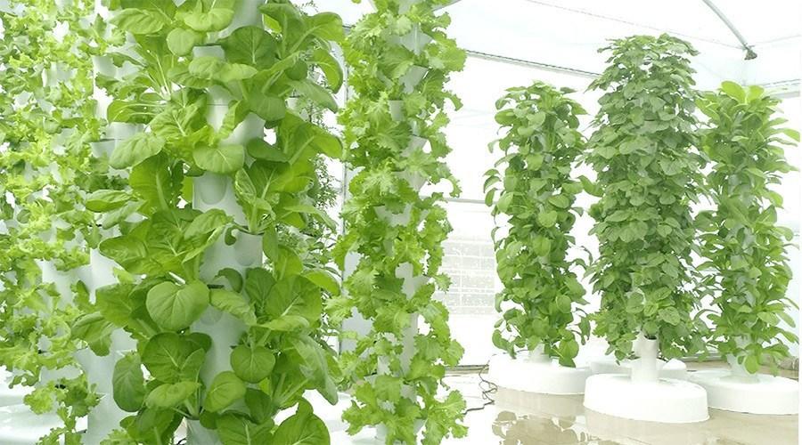 Các phương pháp trồng rau sạc tại nhà