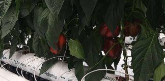 Giá thể xơ dừa ép thẻ Grow bag trồng Ớt chuông