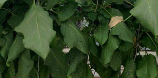Giá thể xơ dừa ép thẻ Grow bag trồng Cà tím