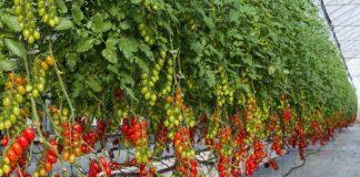 Giá thể xơ dừa ép thẻ Grow bag trồng cà chua