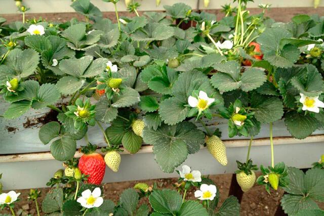 Giá thể xơ dừa ép thẻ Grow bag trồng dâu tây