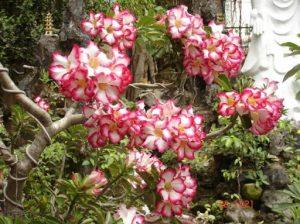 Cách làm cây sứ ra hoa