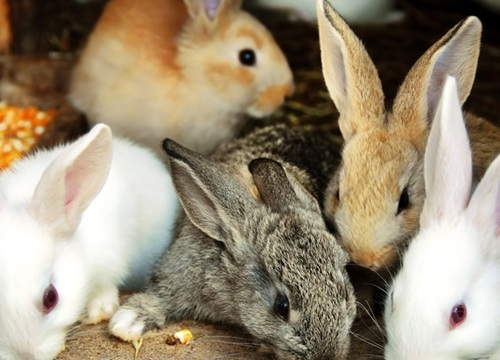 nuôi thỏ không sợ lỗ