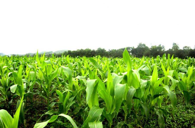 kỹ thuật trồng bắp nếp đơn giản