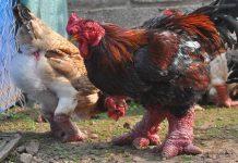 nuôi gà Đông Tảo hiệu quả