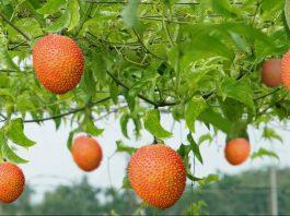 Cách trồng gấc nhiều quả