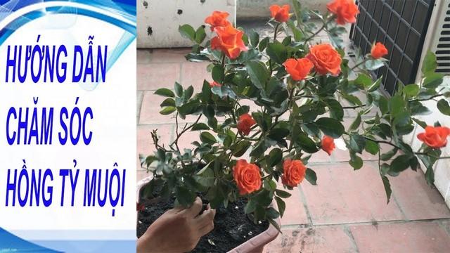 Bạn đã biết cách chăm sóc hoa hồng tỉ muội?