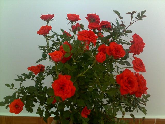 Hoa hồng tỉ muội chăm sóc tốt cho hoa sai, tươi tắn quanh năm
