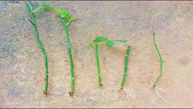 Cành giâm ra rễ, mầm và lá theo từng giai đoạn