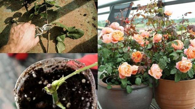 Hoa hồng giâm cành phát triển tốt nếu trồng và chăm sóc đúng cách