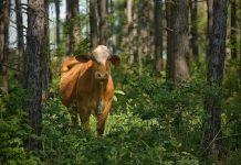 chăn nuôi dưới tán rừng