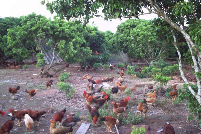 Quy trình nuôi gà chuẩn Vietgap