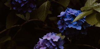 Kỹ thuật trồng hoa cẩm tú cầu như thế nào