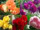 Giống hoa hồng truyền thống