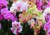Các loài hoa lan đẹp