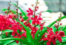 hoa lan mokara