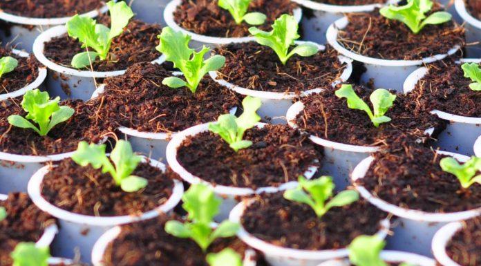 Kỹ thuật trồng rau thủy canh đơn giản tại nhà