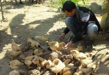 Mô hình nuôi mối để tạo thức ăn bổ sung cho vật nuôi