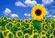 Trồng hoa hướng dương