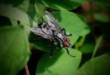 nuôi con độc lạ ruồi lính đen