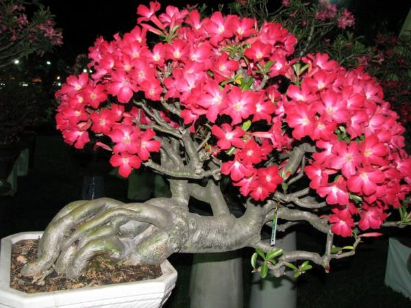 Cây hoa sứ đẹp