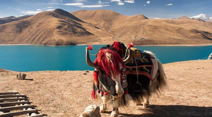 nuôi bò yak ở tây tạng