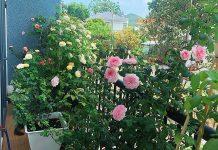 trồng hoa hồng trong chậu