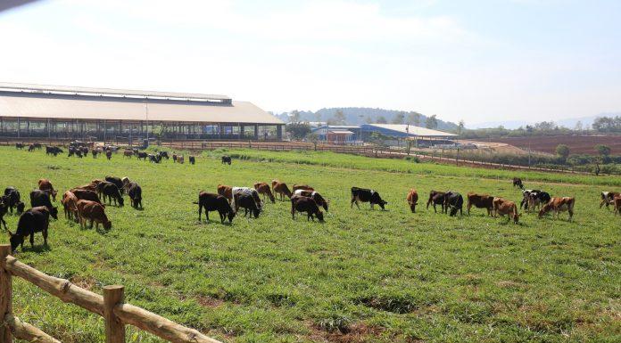 Quy trình chăn nuôi bò sữa theo mô hình tiên tiến.