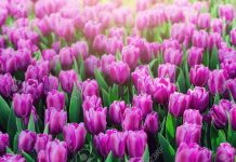 cách trồng hoa tulip cực hay