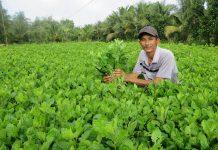 Cách trồng cải ngọt đạt năng suất cao