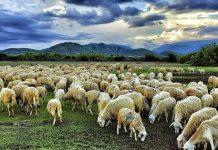 chăn nuôi cừu