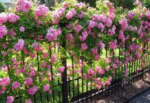 Hoa hồng leo đẹp rất được ưa chuộng