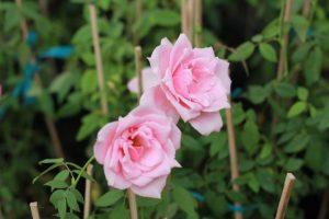 Hoa đào cổ phấn hồng