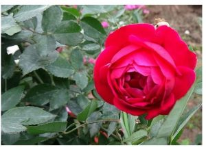 Hoa hồng cổ Quế Son