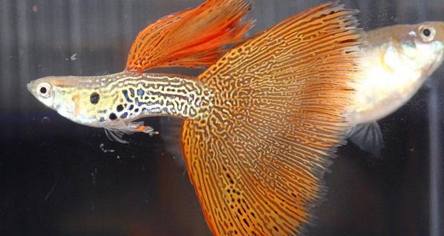 Cá bảy màu là loại cá ăn tạp nên thức ăn của chúng rất đa dạng