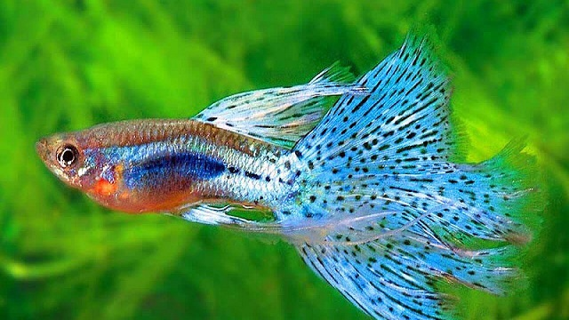 Bể nuôi cá bảy màu cần được lựa chọn thiết kế với kích thước phù hợp nhất