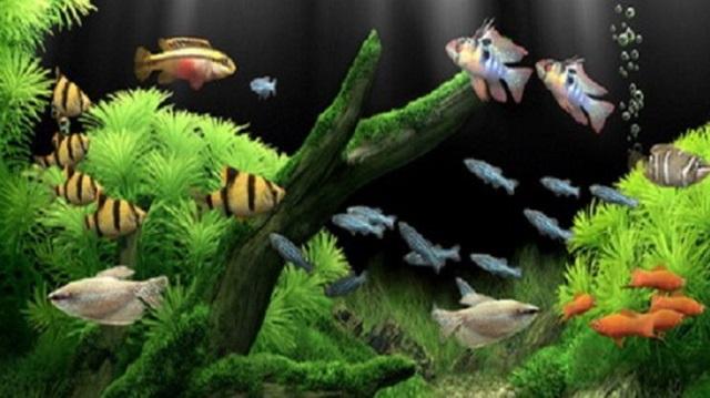 Chất lượng nước trong bể cá đóng vai trò rất quan trọng vì nó quyết định đến sức khỏe của cá