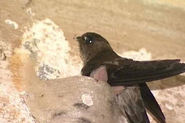 Bệnh chim yến dễ gặp phải nhất là bệnh chân đỏ và sưng