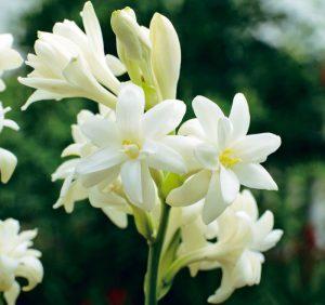 Thông tin về hoa huệ
