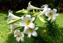 Biểu tưởng và ý nghĩa của loài hoahuệ xứ sở