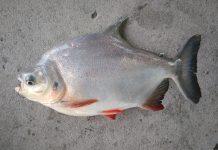 Làm giàu từ kỹ thuật nuôi cá chim trắng nước ngọt