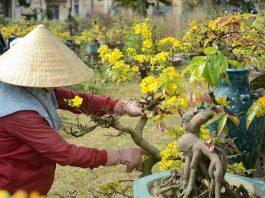 Cách chăm sóc cây mai vàng bị yếu