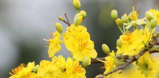 Cách chăm sóc cây mai vàng từ tháng 11 đến tháng 12