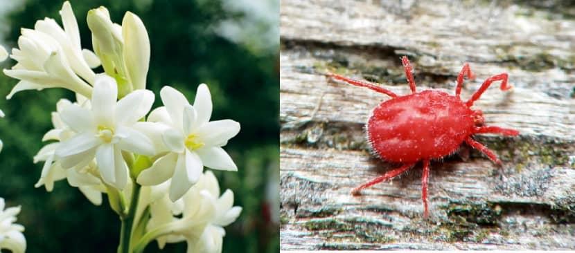 Sâu bệnh hại cây hoa huệ