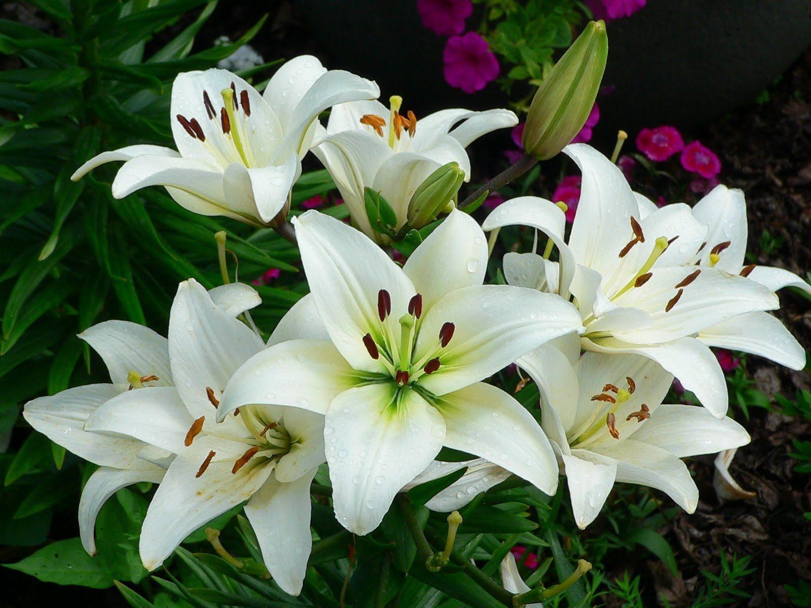 Ý nghĩa màu sắc của hoa huệ