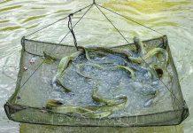 Hướng dẫn quy trình nuôi cá chình cơ bản