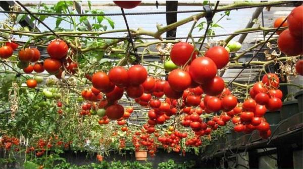 Nếu muốn thử trồng một loại cây độc đáo trong vườn nhà bạn thì cà chua leo giàn là mọt gợi ý không tồi một chút nào.