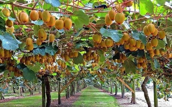 Cây Kiwi có hương vị thơm ngon và rất dễ trồng, chăm sóc