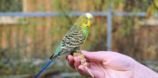 Tuyệt tiêu nuôi chim yến phụng mùa sinh sản