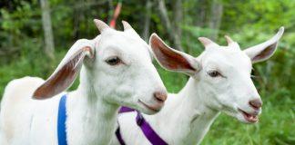 Mô hình chăn nuôi dê sinh sản thu nguồn lợi lớn